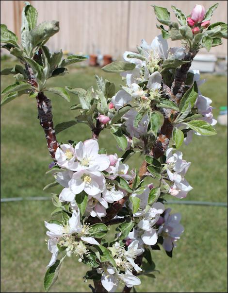 MayAppleBlossoms1