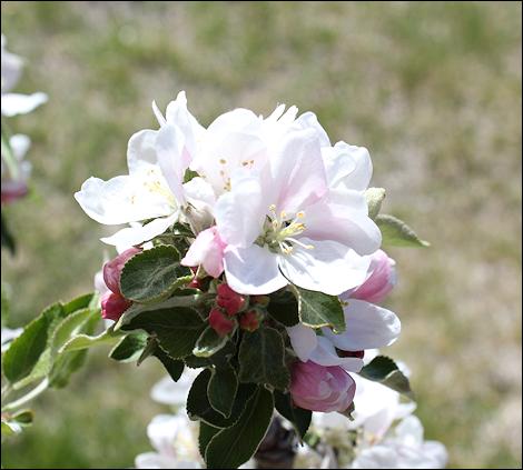 MayAppleBlossoms4