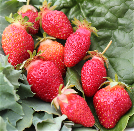 FirstStrawberries2010