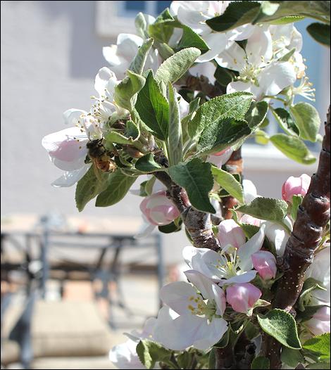 MayAppleBlossoms2