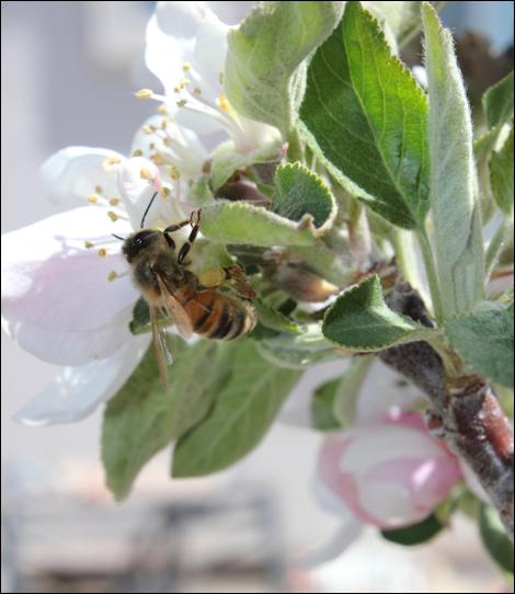 MayAppleBlossoms3
