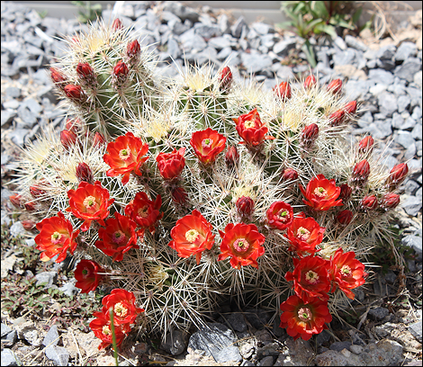 CactusFlowers1