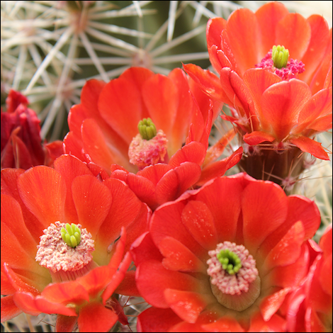 CactusFlowers2