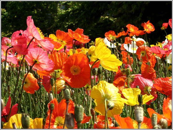 Poppies_in_monterey_april_07