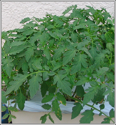 Tomatoe_plants