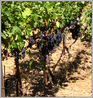 Grapes_9_2_07