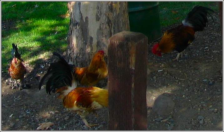 Fancy_chickens